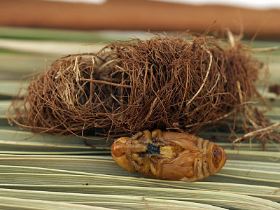 RPW pupa and cocoon