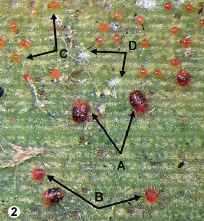 Red palm mite life stages_opt